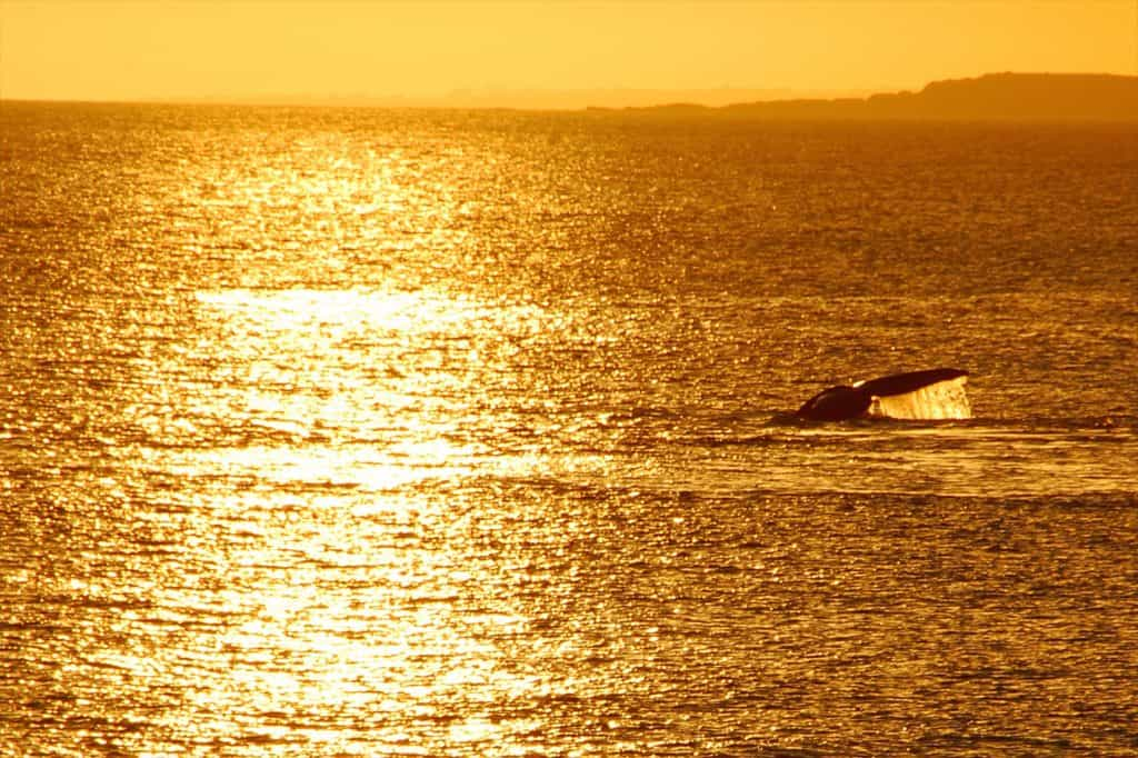 Whales at sunset in Punta del Este, Uruguay by Remco Douma