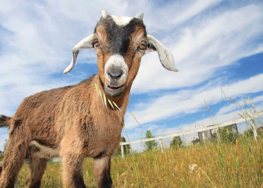 Goat-Simulator-1