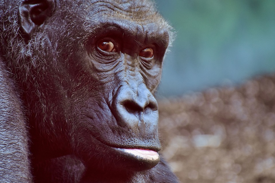 gorilla-aplicaciones gratuitas