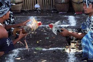 Cockfighting 3