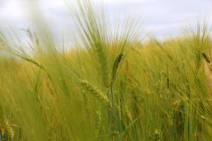 Ackerbau auf Gut Onnau