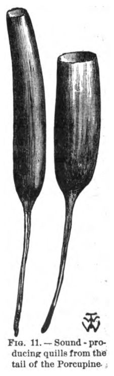 Sound Producing Quills from Tail of a Porcupine. Fig. 11