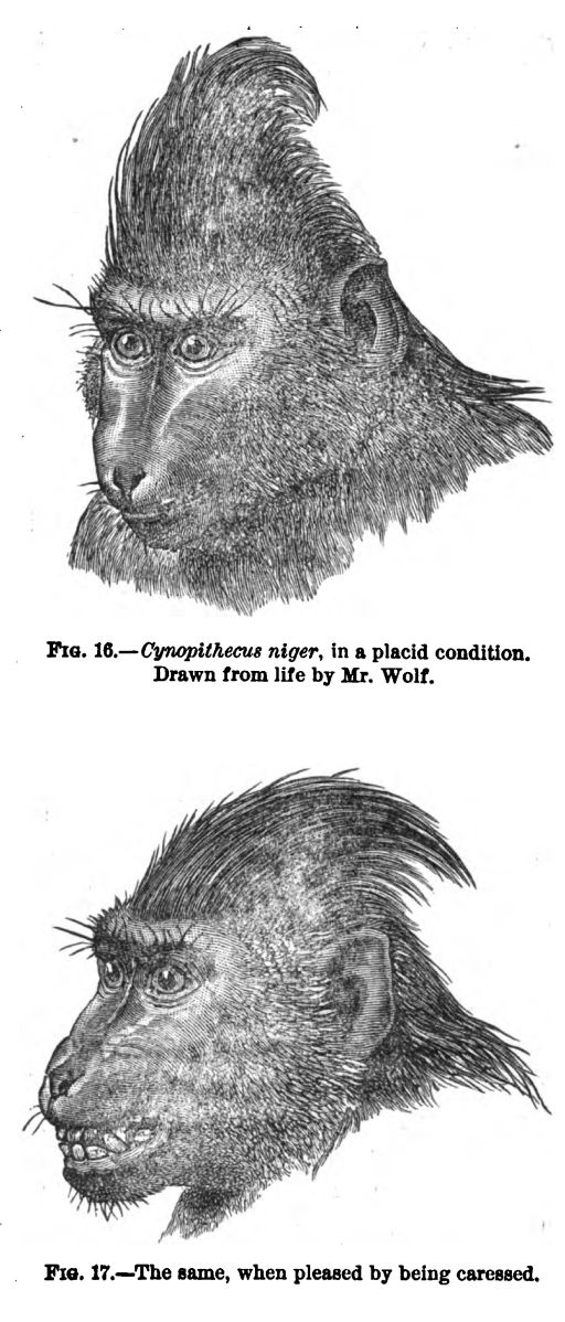 Cynopithecus Niger, in a Placid Condition. Fig.16-17