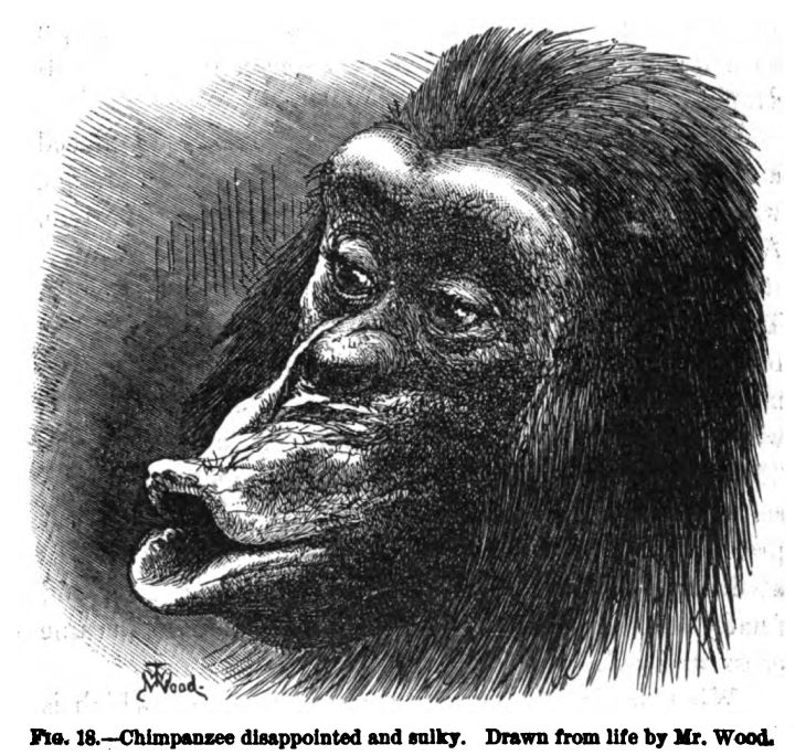 Chimpanzee Disappointed and Sulky. Fig. 18