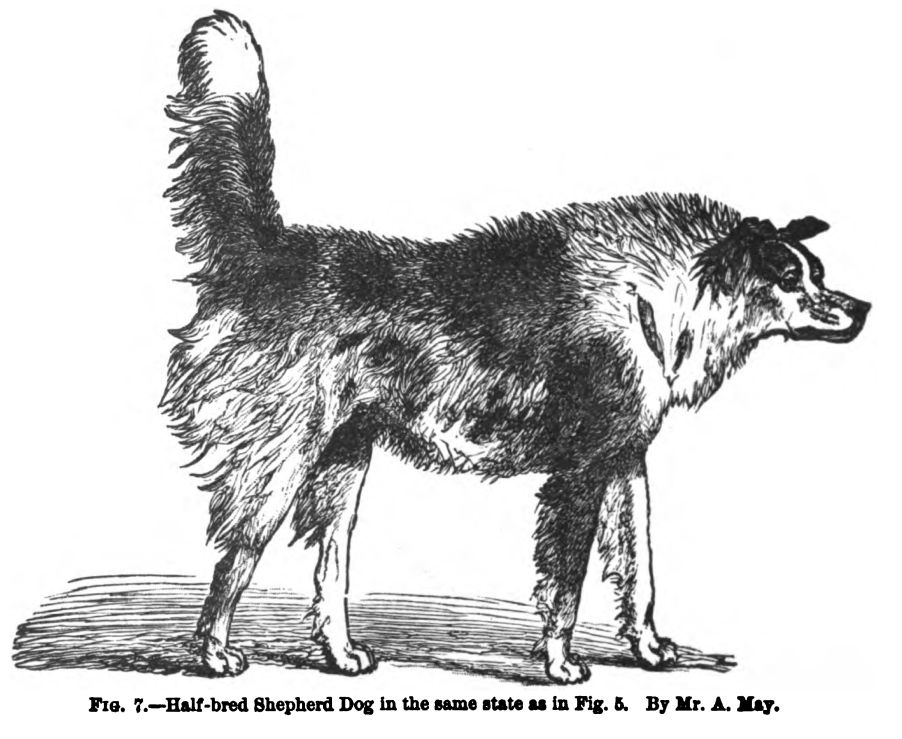 Dog in a Hostile Frame of Mind.  Fig. 7