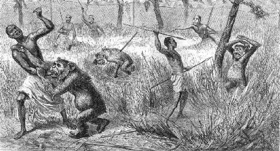 David Livingstone, nei suoi ultimi diari, parla della caccia degli indigeni ai Soko, che oggi chiamiamo scimpanzé. L'incisione qui sopra viene dai suddetti diari, che potete trovare sul progetto gutemberg (in inglese). Potete leggere la pittoresca e vagamente inquietante descrizione ottocentesca qui:http://www.gutenberg.org/files/17024/17024-h/17024-h.htm#fp052