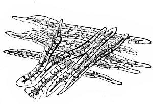 Fig. 336. Coffee. Sclerenchyma fibers of endocarp. x160. (Moeller)