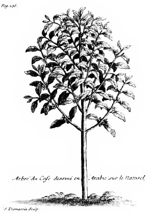 "The Coffee Tree as Pictured by La Roque in His ""Voyage de l'Arabie Heureuse"""