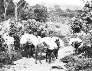 Pack-Mule Transport in Venezuela