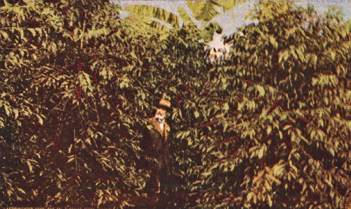 Near View of Heavily Laden Trees Ready for the Pickers