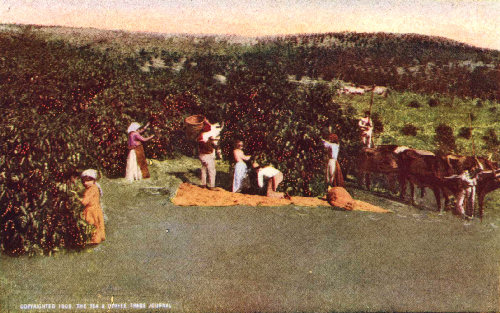 Men and Women Laborers Picking Coffee on a São Paulo Estate