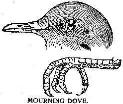 Bible Birds - Dove, Turtledove and Pigeon's Introduction (2/5)