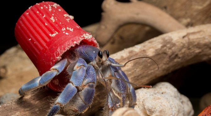 Ocean Pollution Causes Crabs To Live Out of Bottle Caps