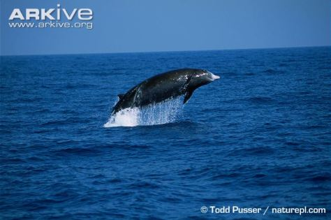 Cuviers-beaked-whale-breaching