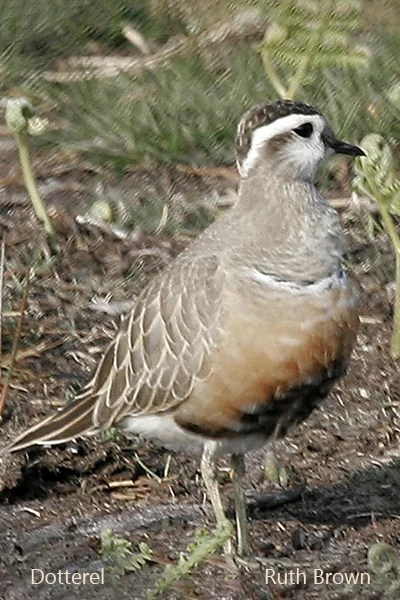 Dotterel on the Blorenge, 5 May 2007 - Ruth Brown