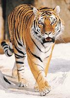 1411-स्थानीय ग्रामीण ही बचा सकतें है बाघ