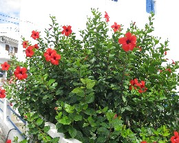 Photo: Hibiscus flowers in Greece. Credit: L. Borre.