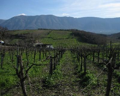 Photo: Vineyards of Campania near Benevento, Italy. Credit: Lisa Borre.