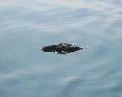 Photo: One of several dead cormorants we found floating in Lake Ontario in 2004. Credit: L. Borre.