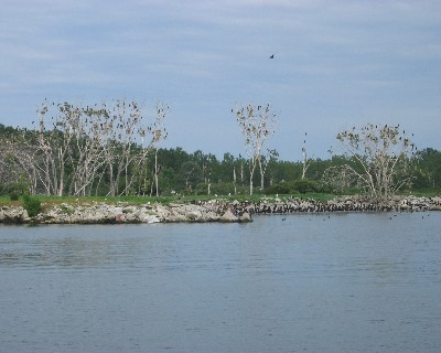 Photo: Cormorants overrun a peninsula near the eastern entrance of Toronto Harbor. Credit: Lisa Borre.