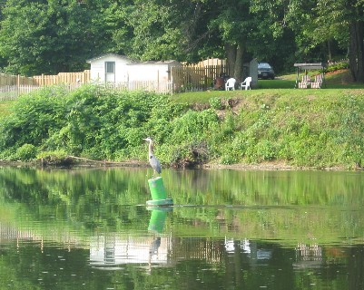 Photo: Great blue heron, Oswego Canal, NY. Credit: Lisa Borre.