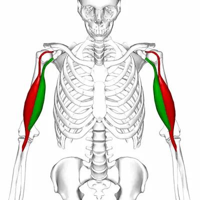 bicepsövningar