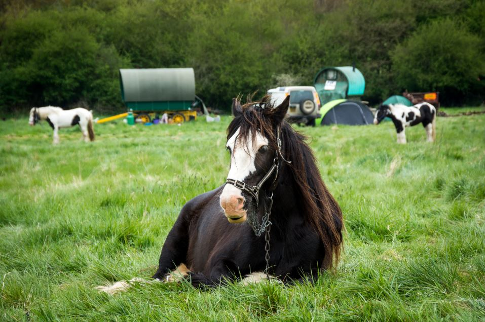 Picture of horses in field in front of traditional Gypsy wagons