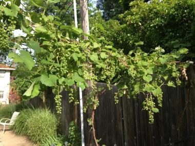 my grapevine pergola
