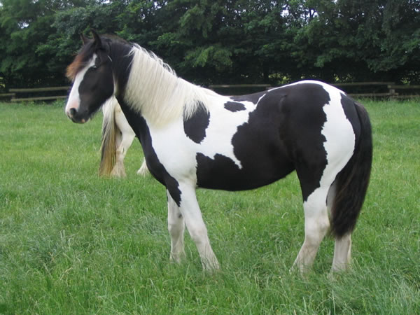 Gypsy Horse For Sale Mare Piebald Mary Poppins