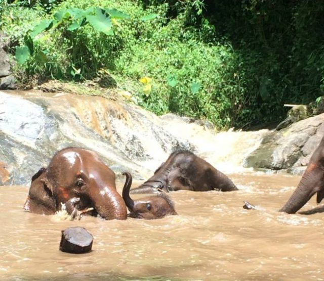 elephants playing at Patara elephant farm