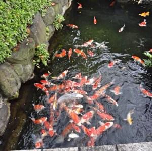 Japanese koi pond