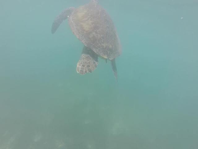 Sea turtle in Akumal