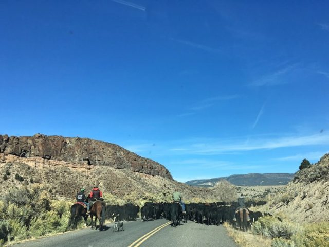 cattle during cross country road trip