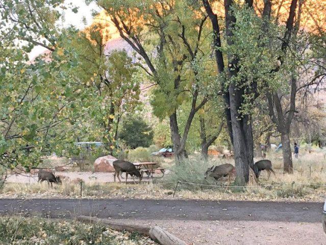 deer at Zion campsite