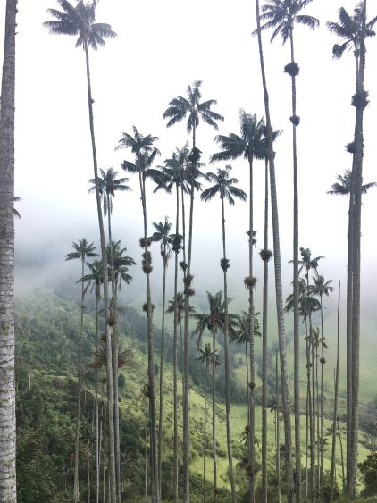 palm trees colombia