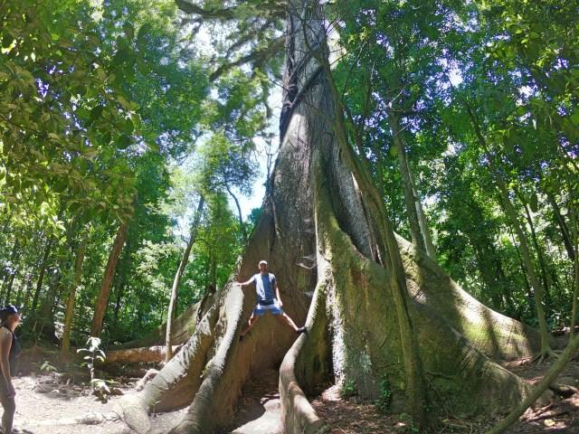 huge tree in costa rica