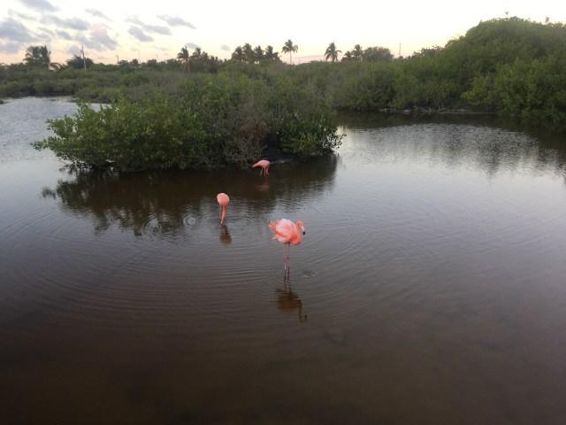 isabela flamingos