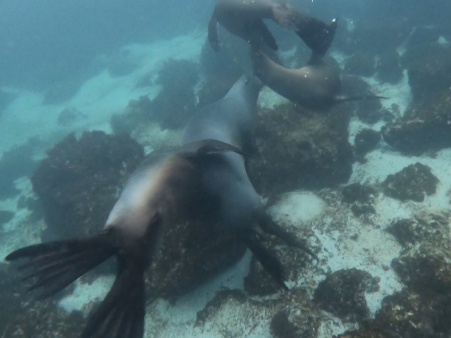 sea lion puppy puddle