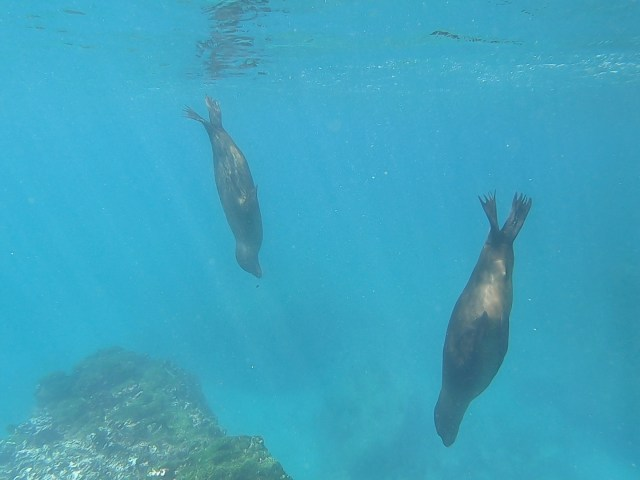sea lions swimming