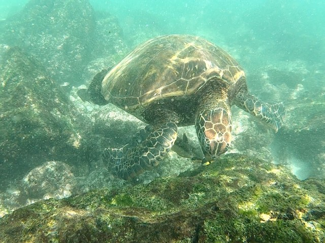 sea turtle in galapagos