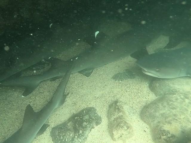 sharks_