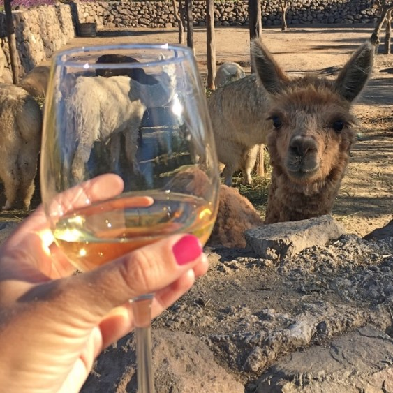 wine and llamas