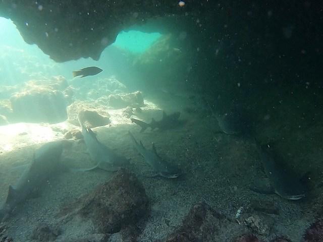 sharks in galapagos