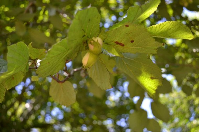 foraging hazelnuts