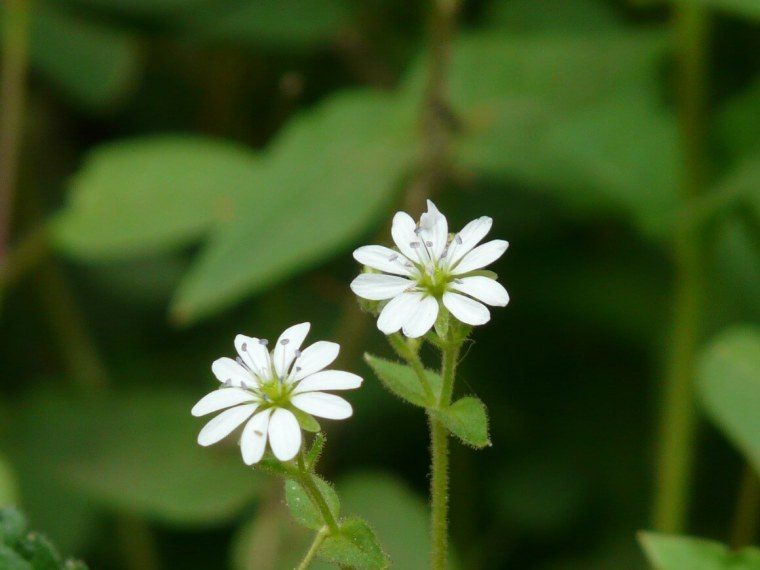 Foraging chickweed