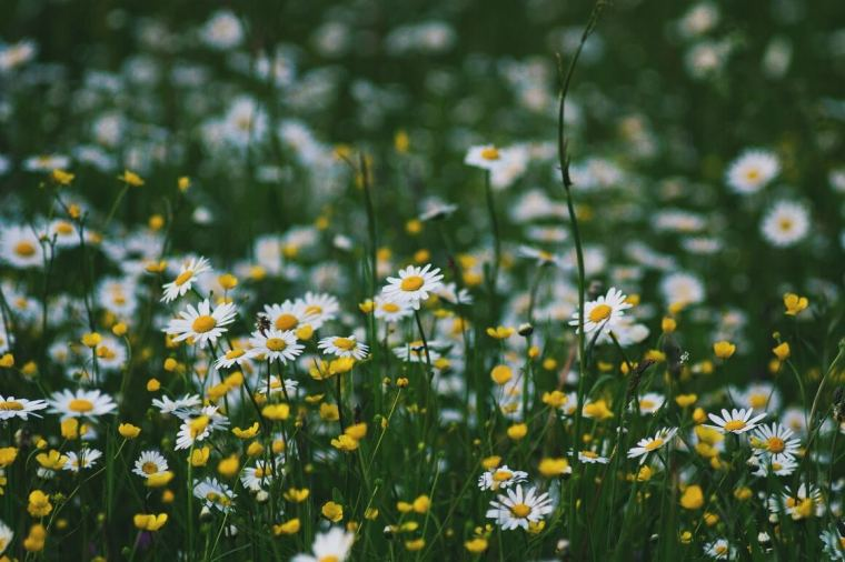 foraging daisies