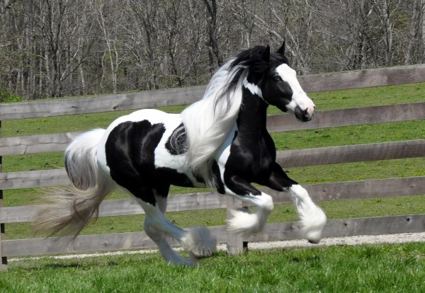 Summer Rose Westmoreland Gypsy Vanner Horses For Sale
