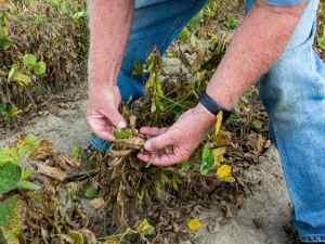 Despite A Ban, Arkansas Farmers Are Still Spraying Controversial Weedkiller (Despite A Ban, Arkansas Farmers Are Still Spraying Controversial Weedkiller)