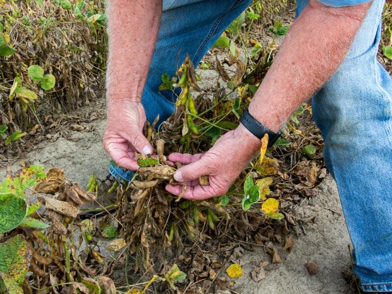 photo of damaged soybean crops. Despite A Ban, Arkansas Farmers Are Still Spraying Controversial Weedkiller