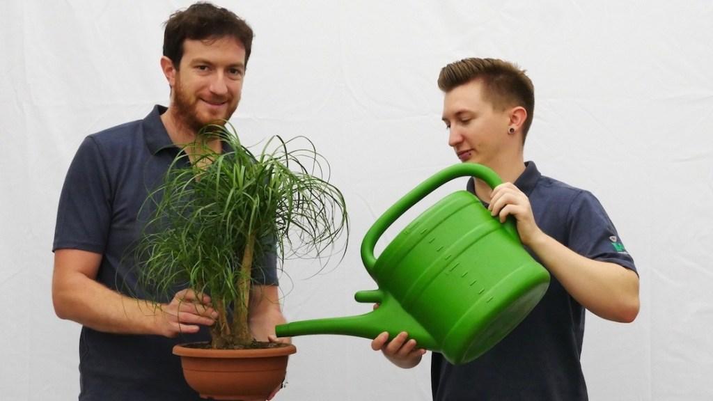 Gießen einer Blume oder Pflanze Haas Innengrün
